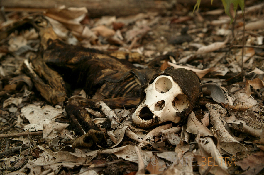 The skeleton of a monkey lies in recently burnt forest near. Porto de Moz, Para state, Brazil.