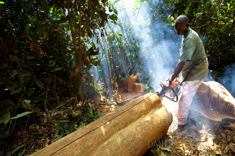 A barefoot logger lumbers an Afromosia (Pericopsys elata) tree with only a chainsaw into planks at an artisanal logging operation at Mugbamboli, Kisangani, Democratic Republic of Congo.