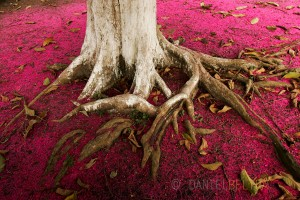 Ground covered by the purple flowers of the Jambo tree in Bellterra, Para State, Brazil.